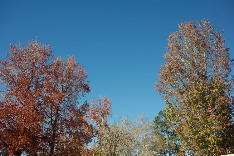 Beautiful fall trees at Garfield School
