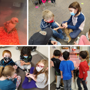Egg to chick lifecycle. Image of students with baby chicks.