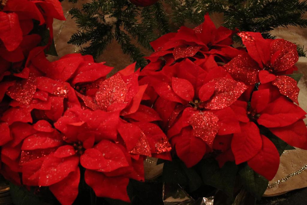 Pretty poinsettias