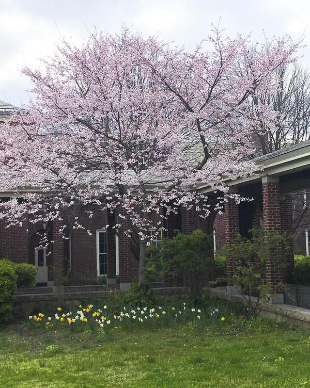 Blooming tree Crosby-Phelps