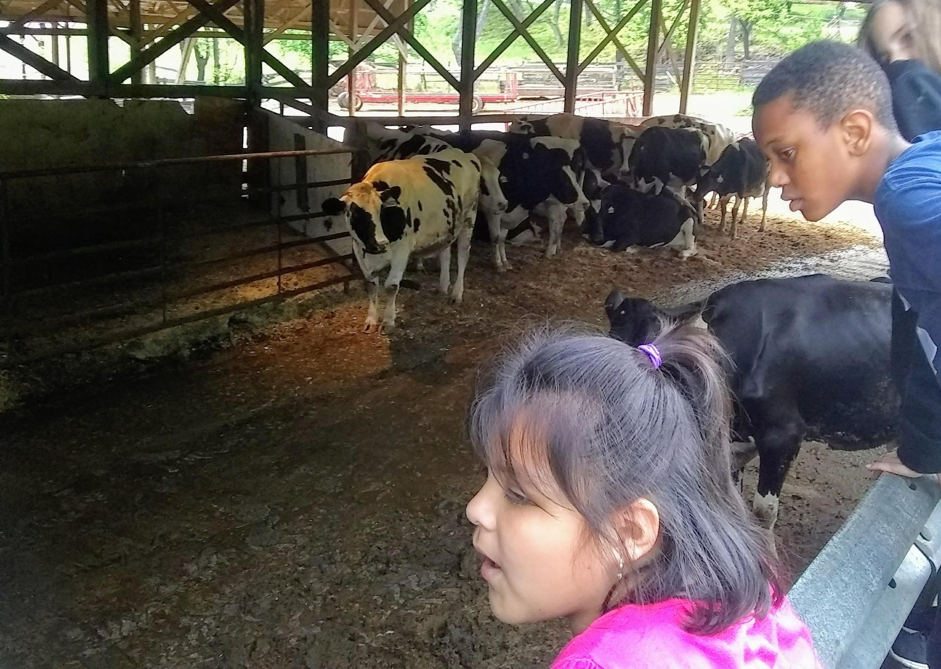 kids watch the cows