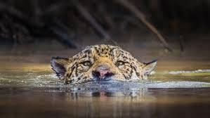 Jaguars Swim to Success