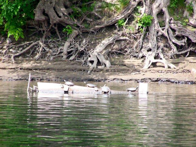 Turtles on log in Delaware River
