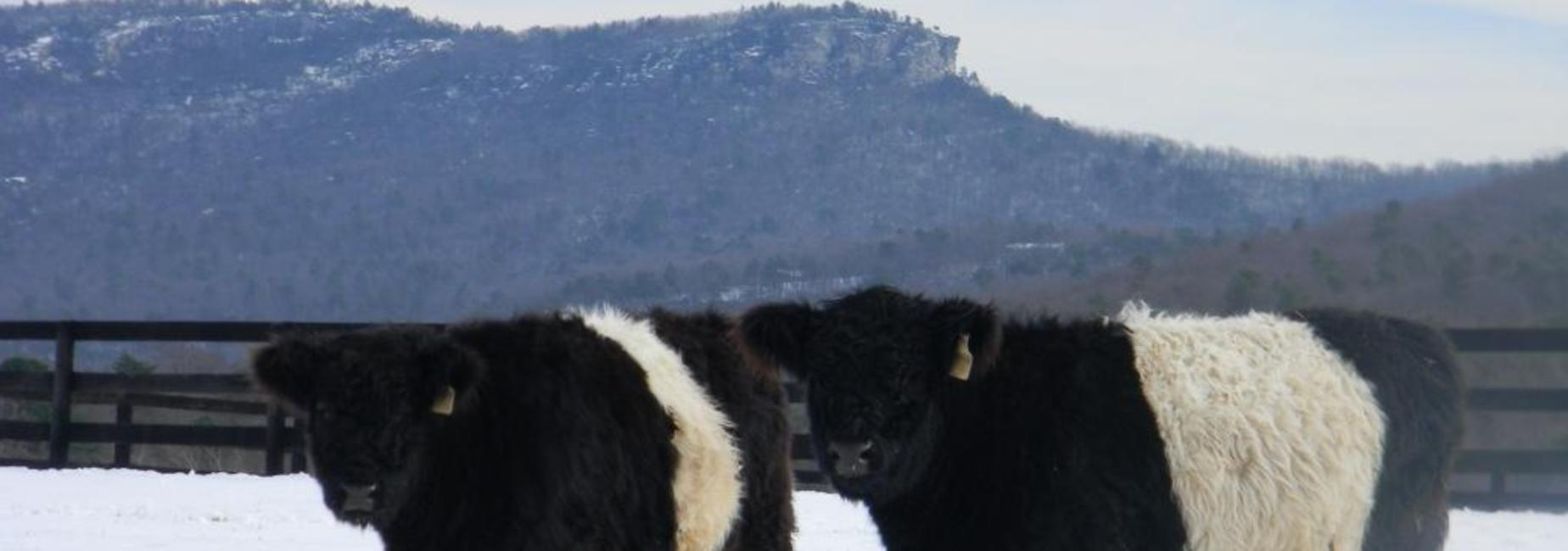 Snow with cows.
