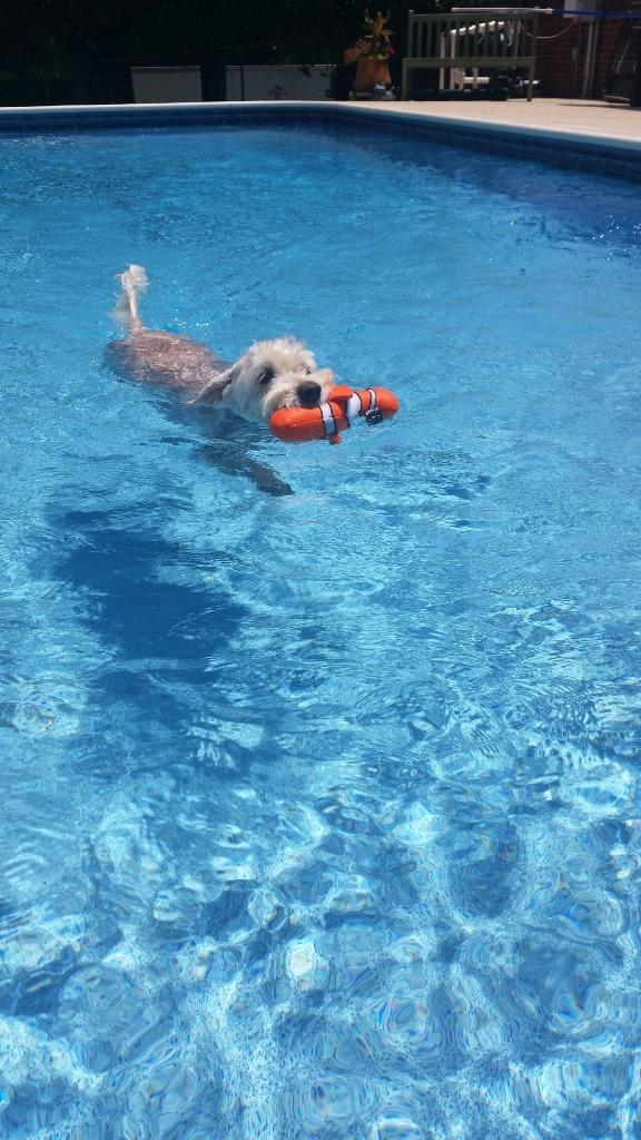 Ms. Reep's Dog Ace, a labradoodle, swimming in the pool. It is a beautiful summer day! Ace is carrying a toy in his mouth while he swims back to Ms. Reep.