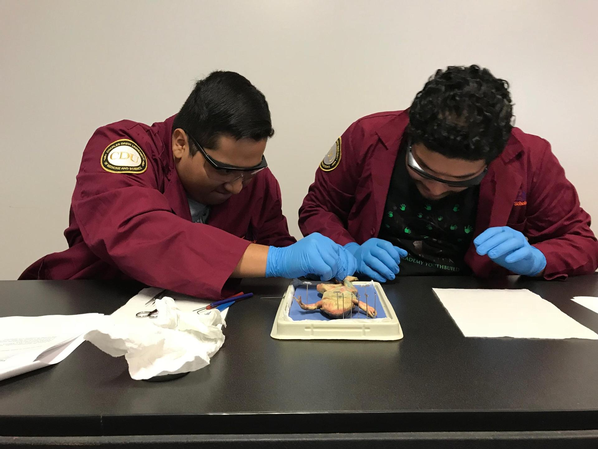 Students dissect frogs