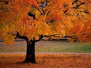 Fall tree & leaves