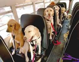 dogs on a school bus buckled