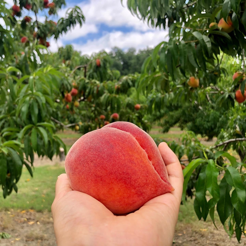 Ogeechee Peaches