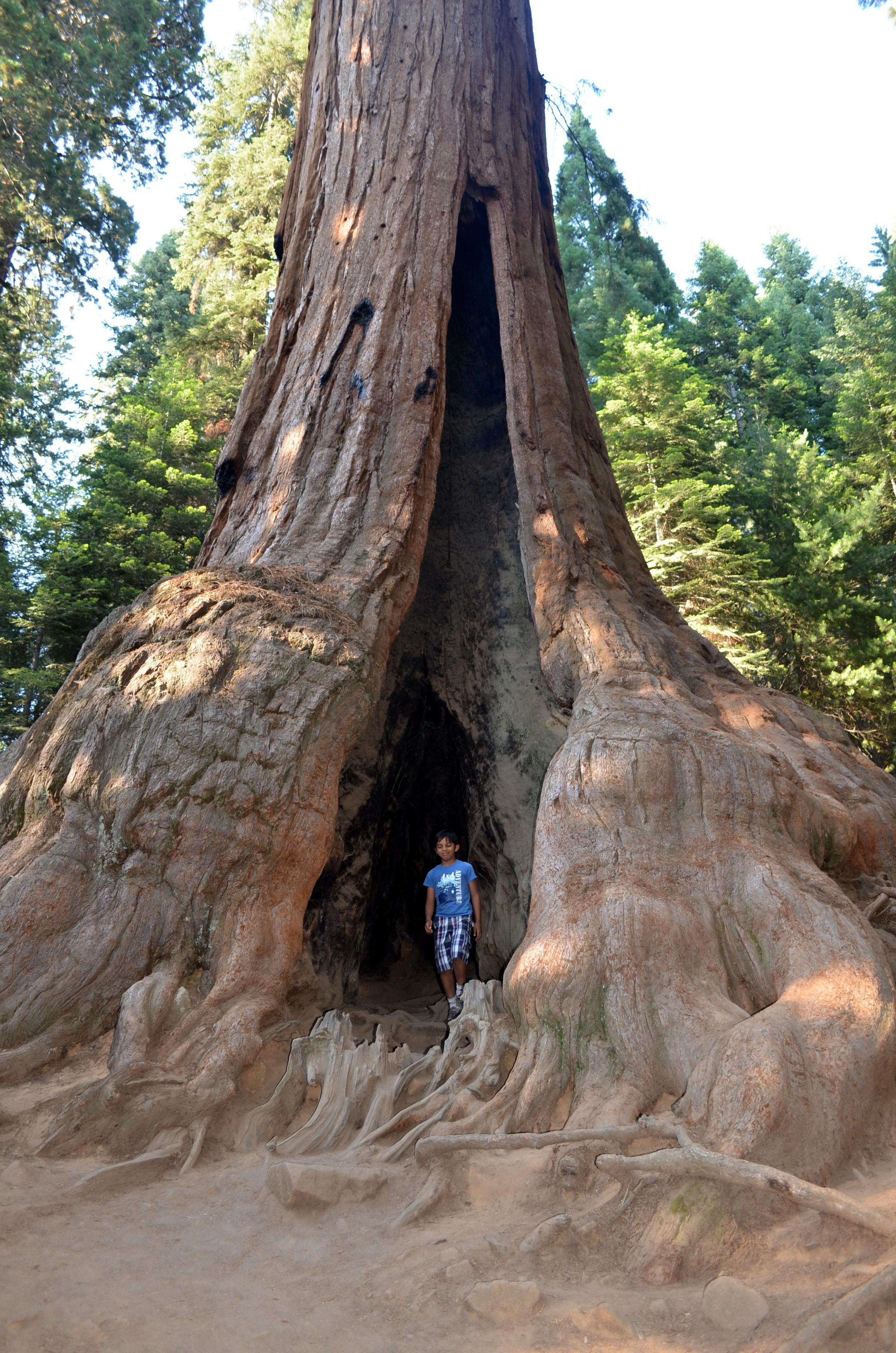 A Giant Sequoia in Sequoia National Park