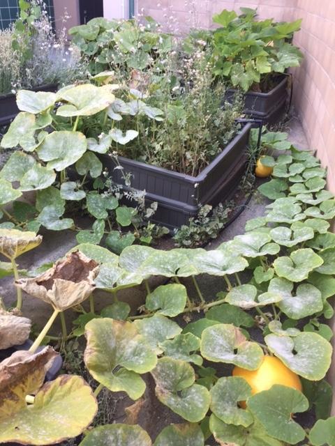 Ramblewood Garden - pumpkins gone wild!