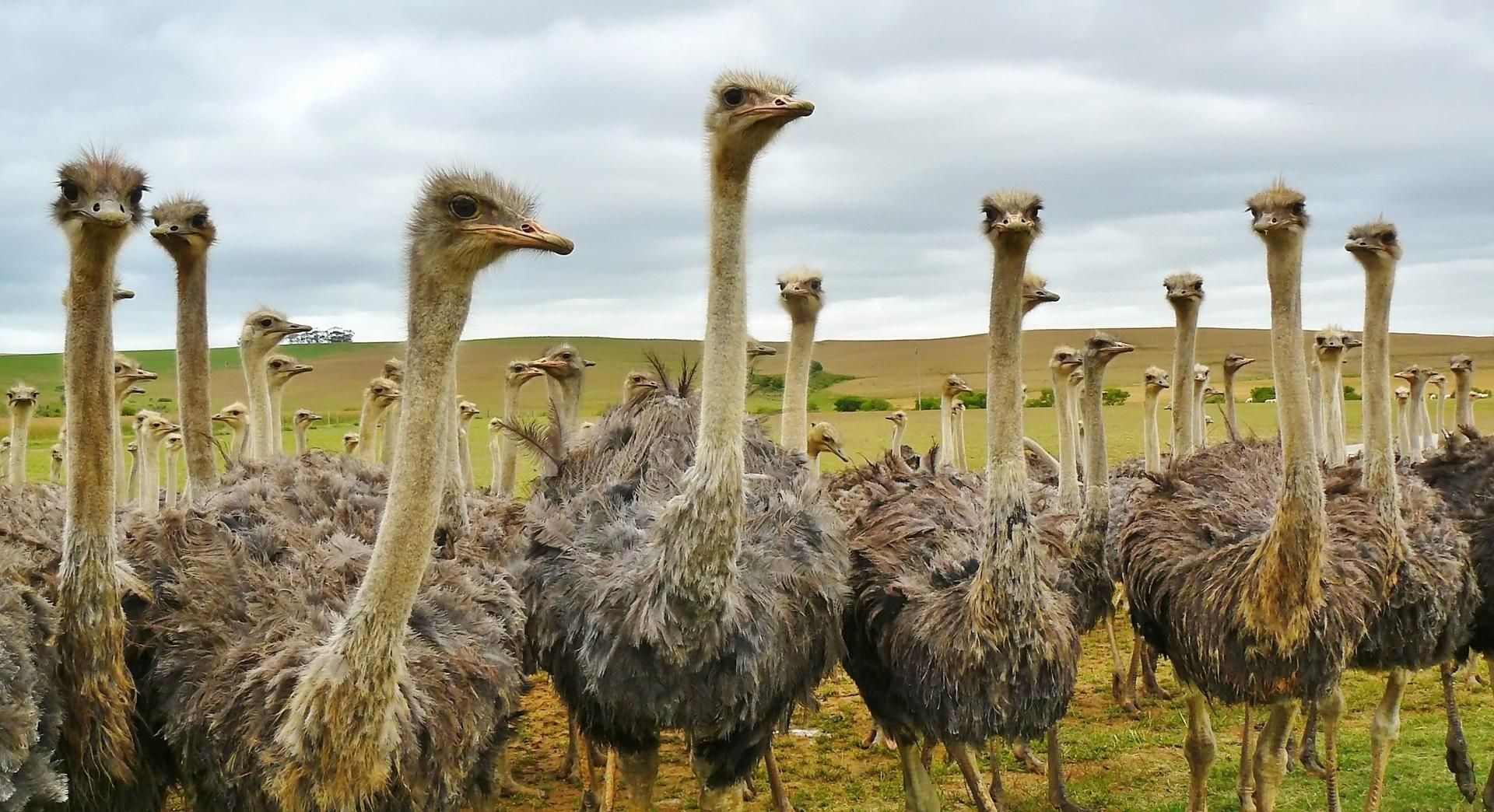 Multiple ostriches standing
