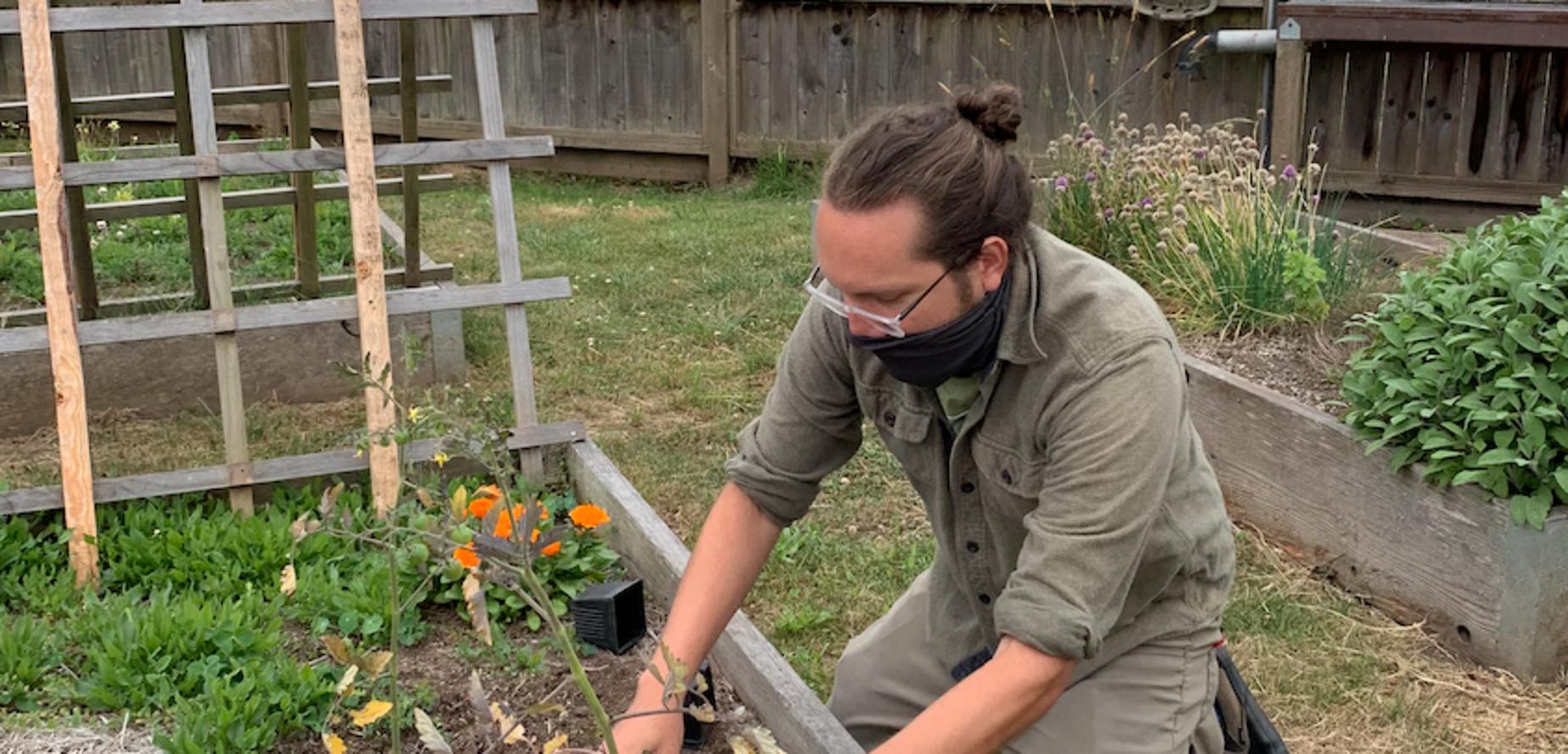 Man planting tomatoes