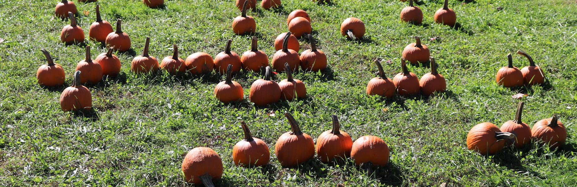 The Lincoln School Pumpkin Patch is a treasured annual tradition organized by the Lincoln PTO with plenty of sunshine and lots of fun activities for the preschoolers and kindergartners on Oct. 12.  Pictured here are pumpkins in the