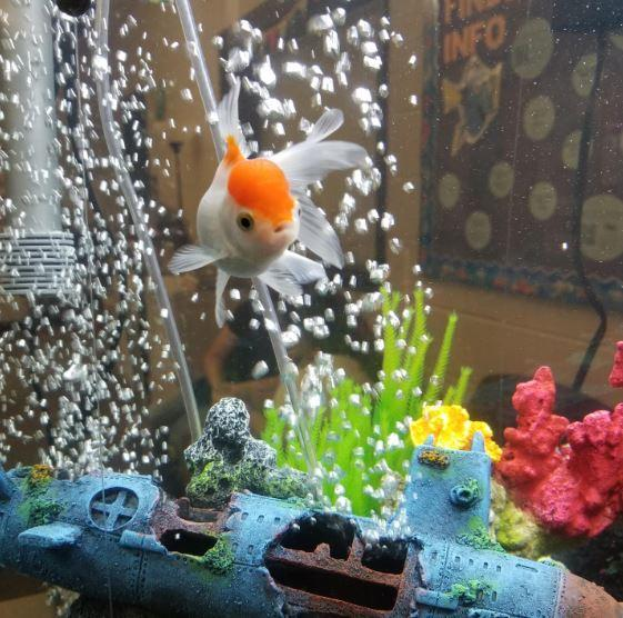 Melville the Oranda Goldfish