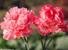 Carnation Picture.PNG