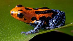 poison-dart-frog-orange-blue.adapt.945.1.jpg