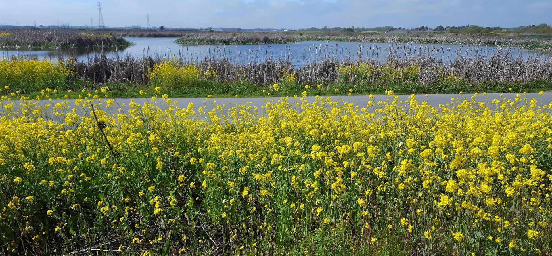 mustard at marsh