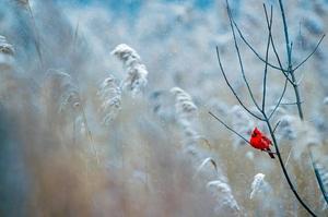 cardinal in winter landscape