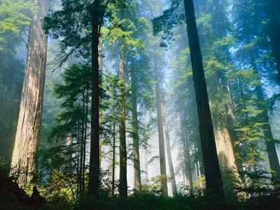Picture of Redwood Trees