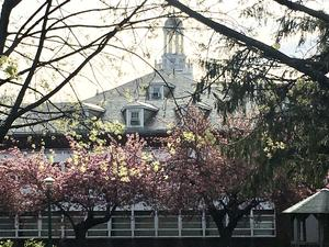 Apple blossoms on eastside of Schermerhorn Hall, cupola in view above trees