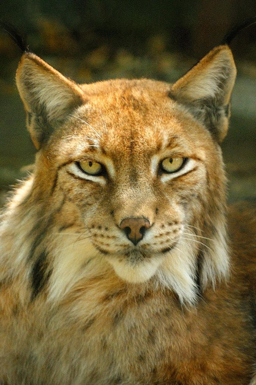 Overlake Lynx