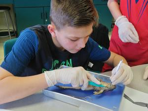 Students examine the organs of frogs.