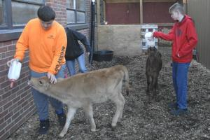 Marion Senior High School students feeding two dairy calves in agriculture class.
