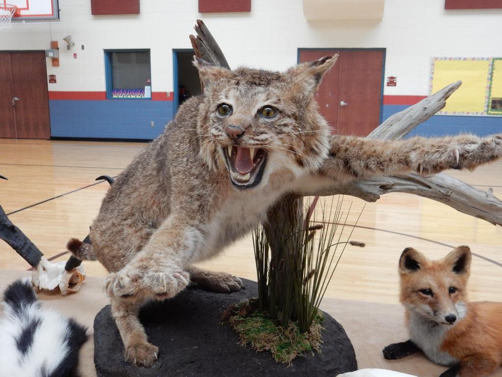 Photo of mounted bobcat