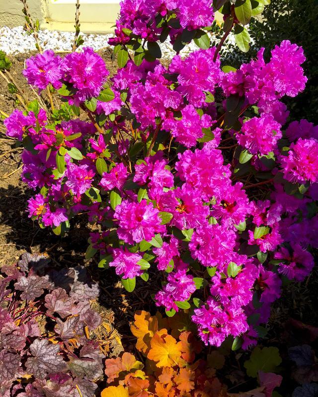 Azelia in full bloom