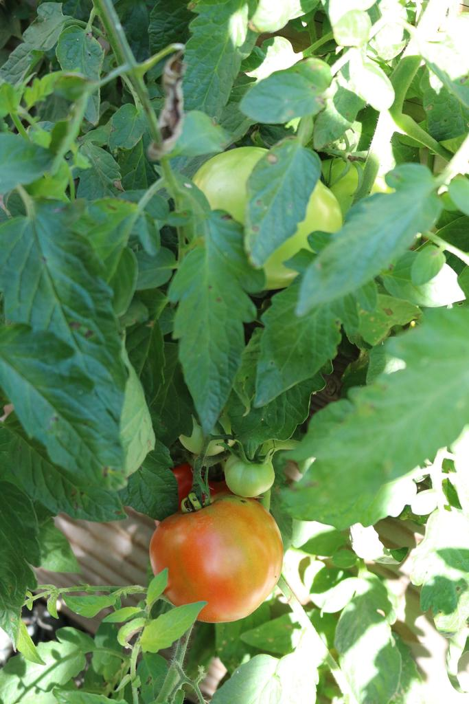 Photo of tomatoes growing in the Jefferson School garden.
