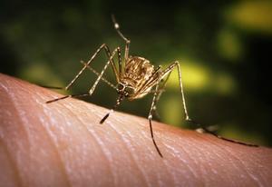 mosquito-3.jpg