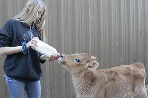 Marion Senior High student bottle-feeding dairy calf.