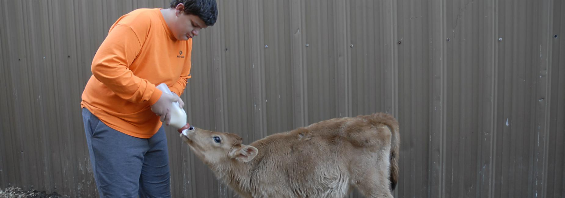 Student bottle-feeding small brown calf in agriculture class