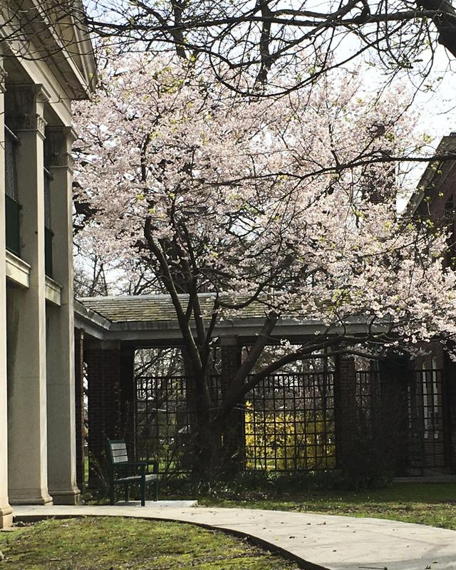 Blooming tree near Wait House