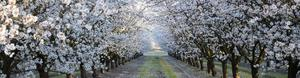 Cropped Almond Orchard in Bloom
