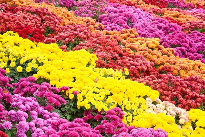 Order Fall Mums Through SEES Booster Club Thumbnail Image