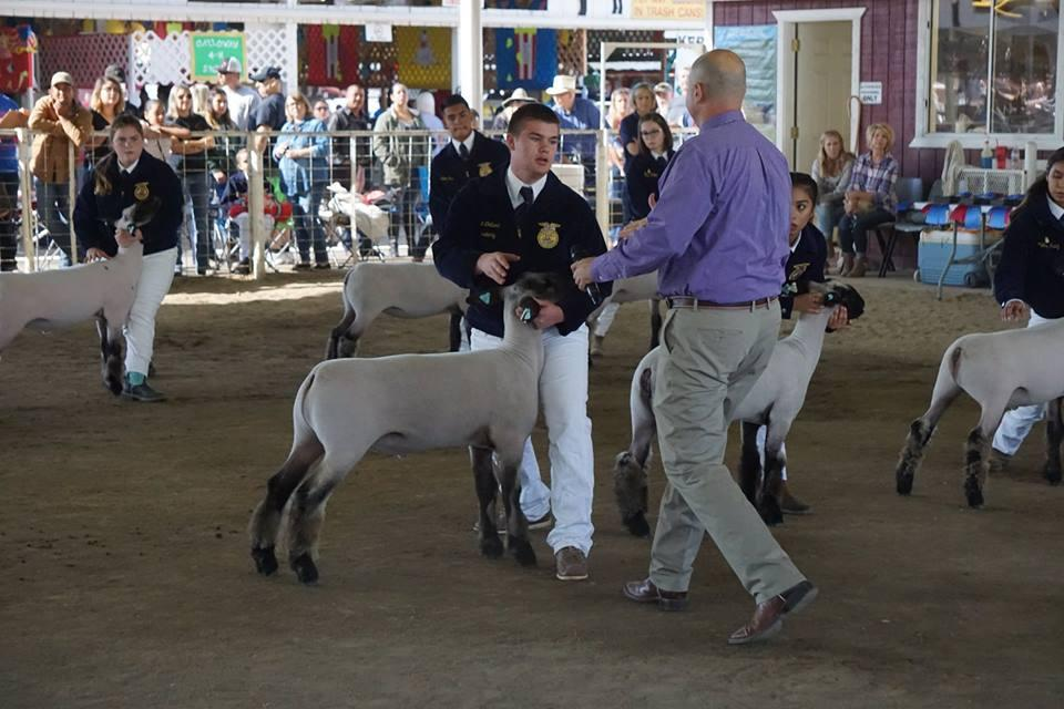 GVHS market sheep showmanship