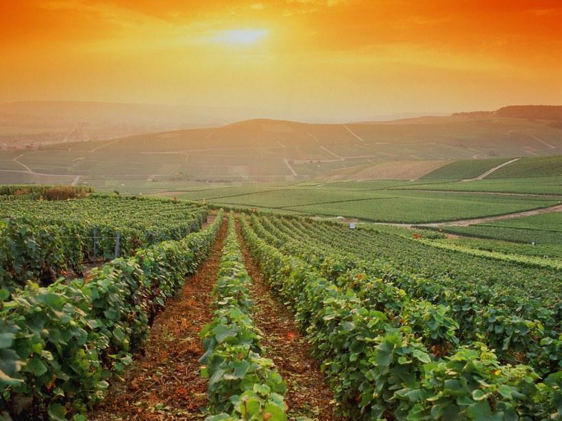 Vineyard of champagne grapes, Provence France