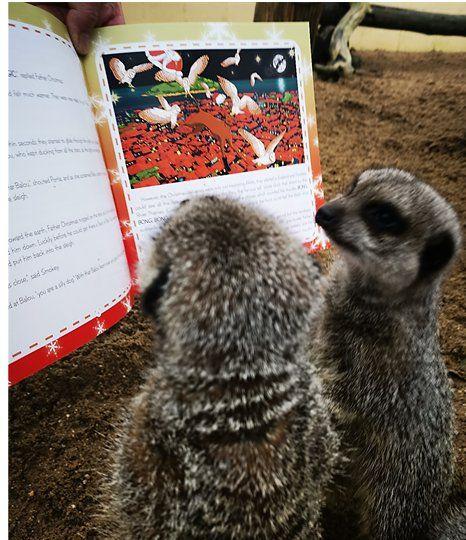 meerkats reading
