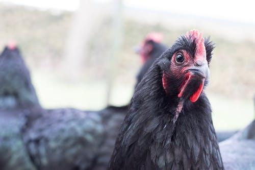 chicken pexels