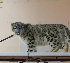 A snow leopard striking a pose during a special assembly at Lairon.