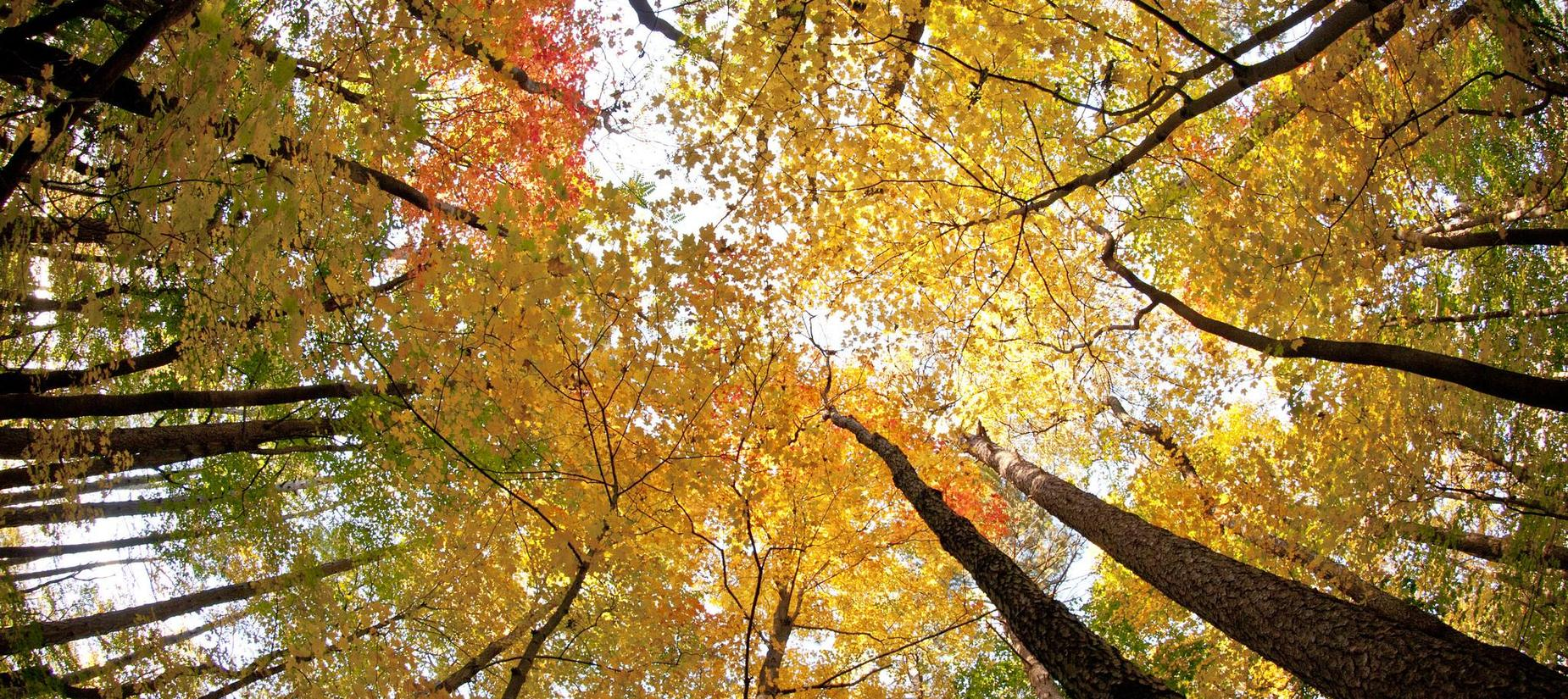 Looking up to the tops of trees with colors of yellow, orange, green and red