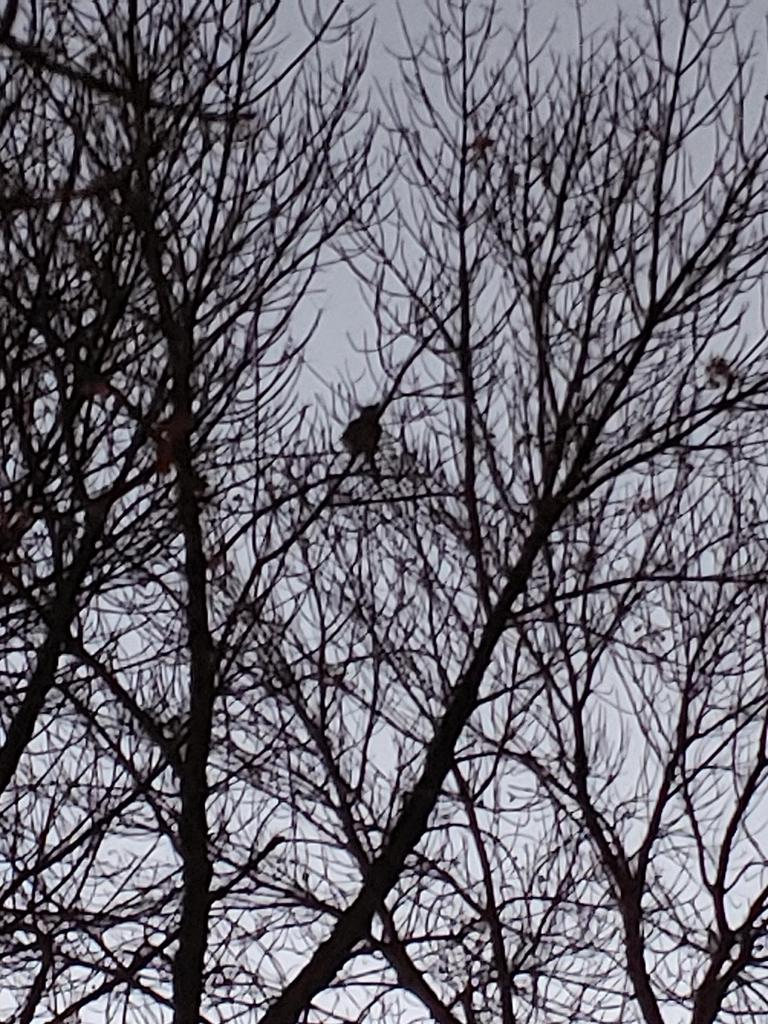 Great Horn Owl visiting IACS