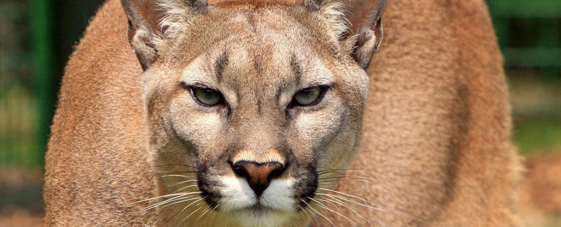 cougar life desktop