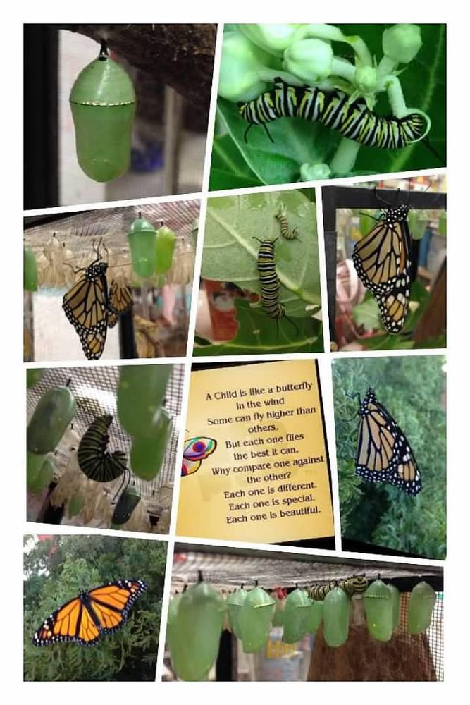 Photo collage of butterflies at different stages of life cycle