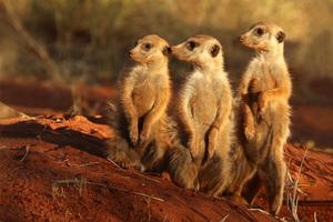 Meerkat_(Suricata_suricatta)_Tswalu (1).jpg