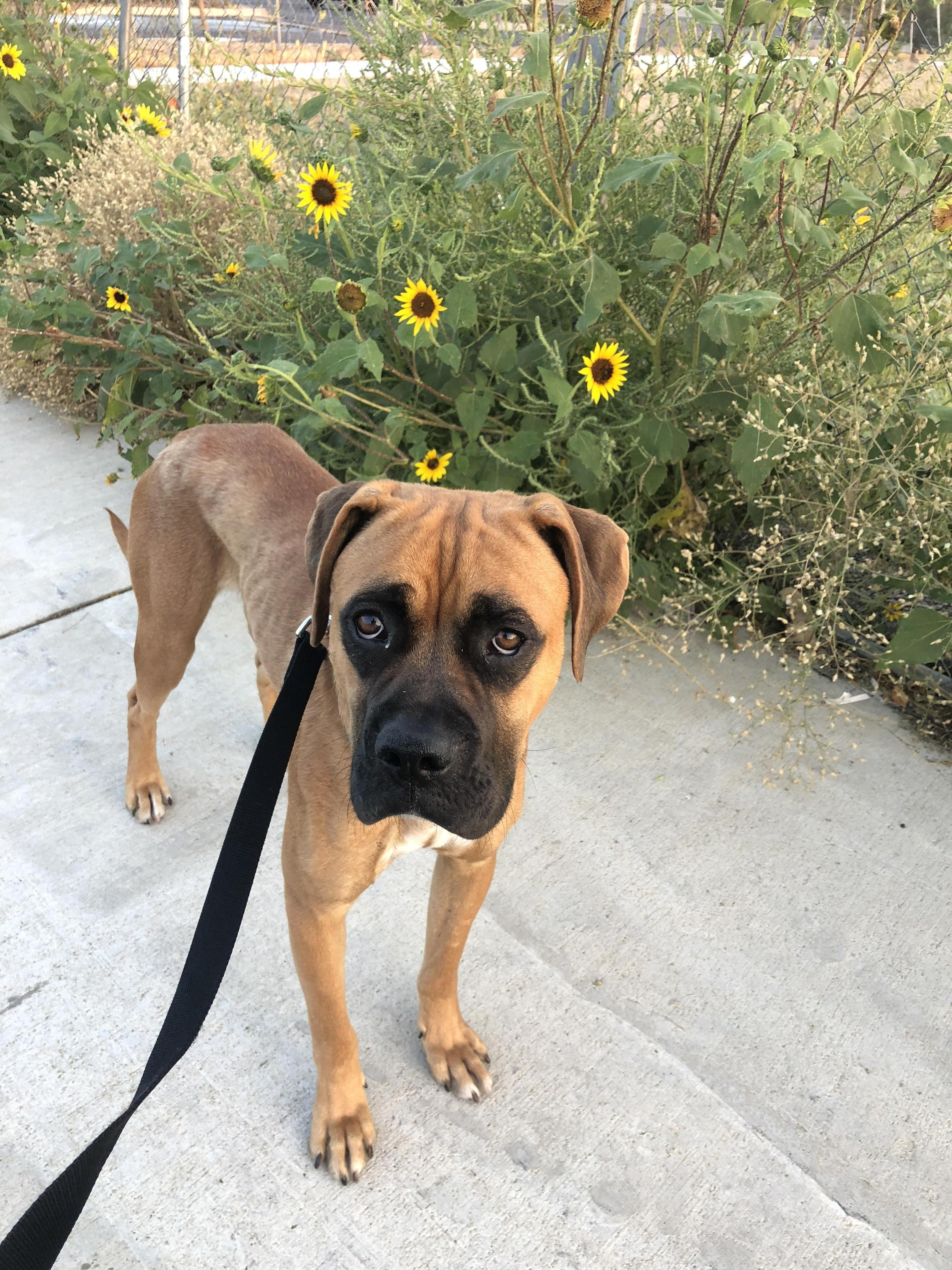 Mr. Henry Among the Sunflowers...