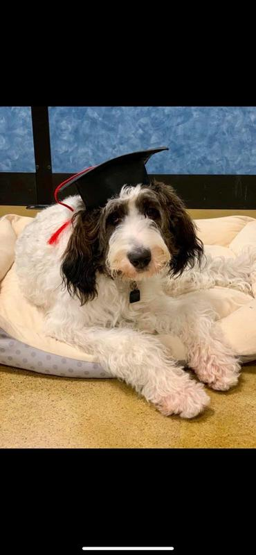 azel, our therapy dog, in her graduating cap