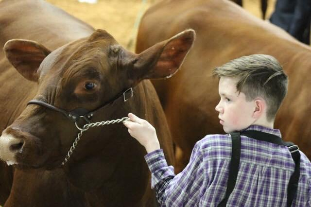 a young boy leads a brown cow by the halter